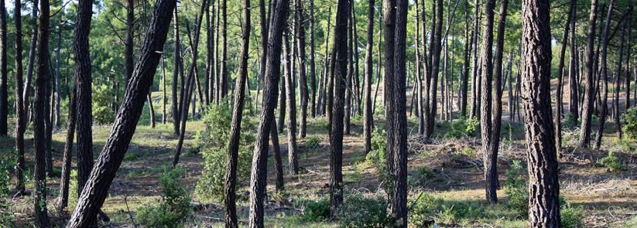 Forêt des Pays de Monts - Saint-Jean-de-Monts - Vendée - © JCB
