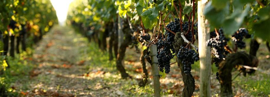 Vignoble nantais - Loire Atlantique